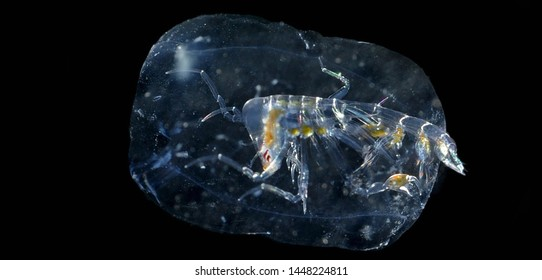 photo of bioluminescent creature in the water, Produce light by chemical reaction inside there body