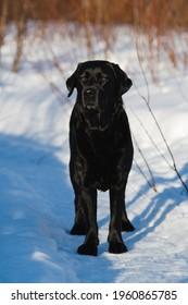 Photo of a black labrador retriever dog at wintery sunset