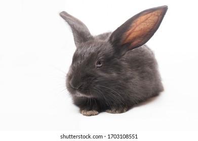photo black rabbit on a white background