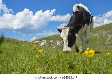 Photo of the black and white cow grazing on meadow in mountains. Cattle on a mountain pasture. Summer sunny day. Cow in pasture. Mountain meadow. Green meadow in mountains and cow, summer landscape