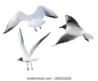 photo of black-headed gulls isolated on white background
