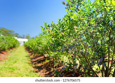 A photo of blueberry plants growing on the farm.