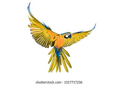 unscharfe Fotos, blauer Parrot-Arsch fliegend, einzeln auf weißem Hintergrund .