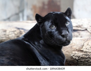 Photo bright black portrait of a panther sadness for the animal world.