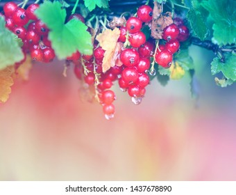 Photo of bright red currants with raindrops on a light background
