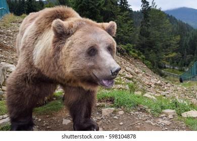 Photo brown bear up close. Mountain sanctuary