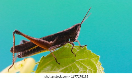 Photo of a brown Grasshopper on the leaf