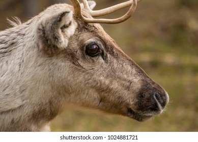 A photo of a brown and gray reindeer with antlers with big dark eyes and a dark nose with a blurry green background, shot in Lapland, Finland