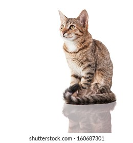 Photo of a brown striped kitten (4 months old) sitting down isolated on white background. Studio shot.