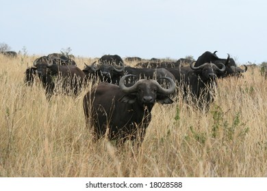 A photo of a buffalo in Kenya's national parks