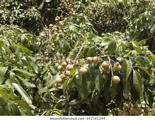 A photo of bunch of Longan or Dimocarpus longan. Delicious fresh fruit and green leaves on the tree in the sunlight.