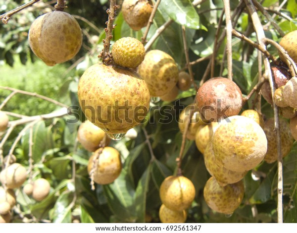 A photo of bunch of Longan or Dimocarpus longan. Delicious fresh fruit and green leaves on the tree in the sunlight, Close up.