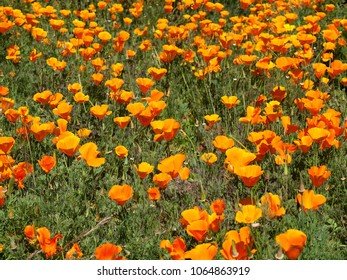 A photo of California poppies growing in Davis, California.