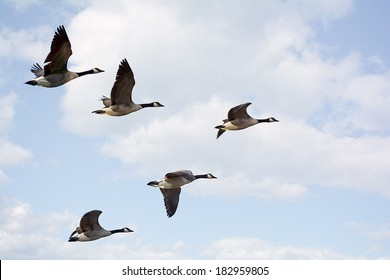 Photo of  Canadian Geese flying in formation.  Taken on the scenic Maumee river in Northwest Ohio.