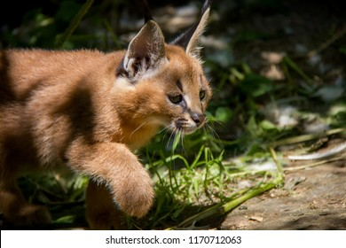 Photo of Caracal baby.