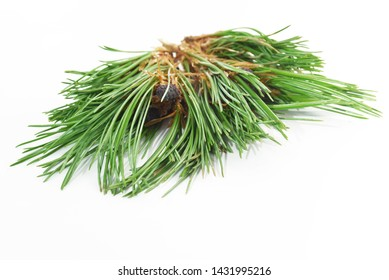 Photo of a cedar branch with small cones on a white background