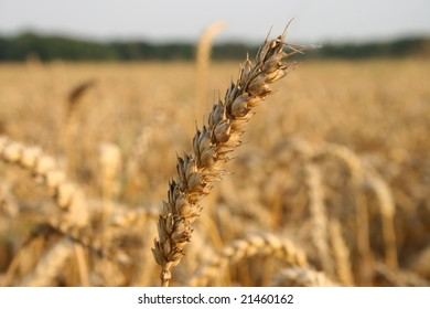 Photo of cereal field as a concept of agriculture