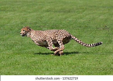 Photo cheetah running across the grass, while running rips up pieces of grass