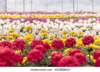 The photo of Chrysanthemum in the field with multi colours.