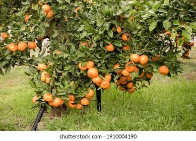photo of citrus tree on jeju island's citrus farm