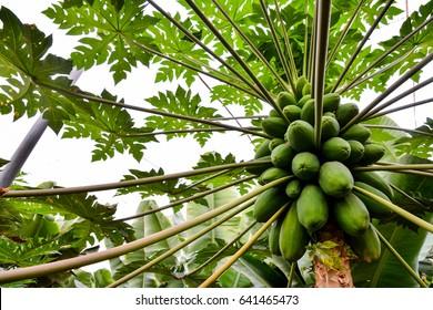 Photo close up of papaya tree with green fruits