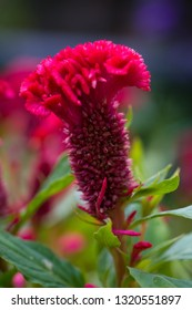 A photo close up top view of Cockscomb or Celosia Cristata flower ( Celosia argentea var. cristata ) Beautiful red flower and green leaves in the garden