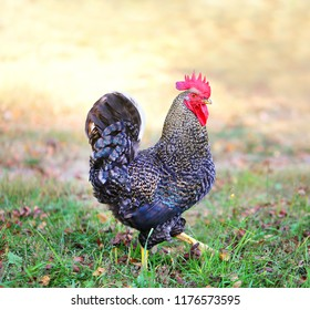Photo of a close-up beautiful big cock on a farm