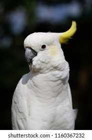Photo of a close-up of a large white cockatoo parrot sunlit in the park