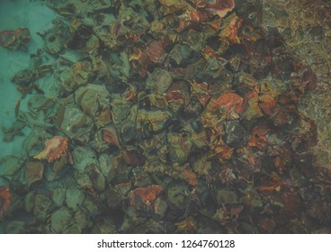 A photo of a cluster of Bahamian Queen Conch.