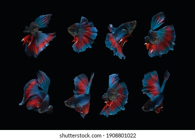 Photo collage of blue red halfmoon type of betta splendens siamese fighting fish isolated on black color background. Image photo