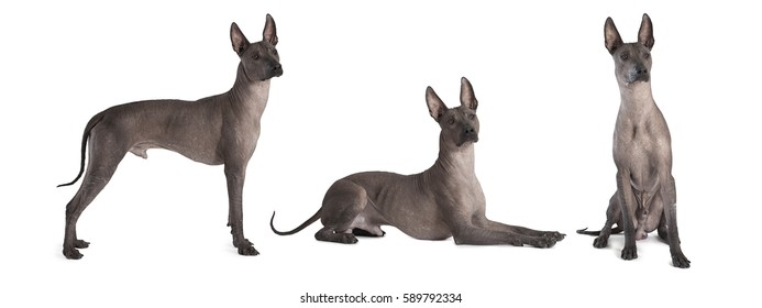 Photo collage of hairless thoroughbred xoloitzcuintle male dog, studio shot on white background