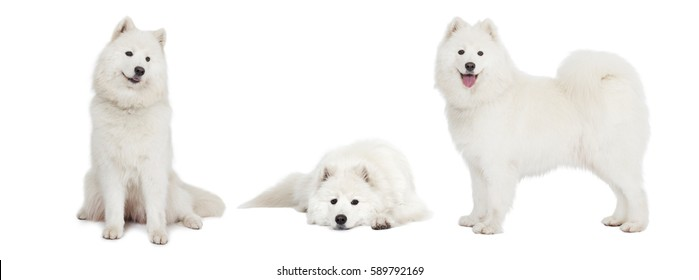 Photo collage of Samoyed dog, studio shot on white background