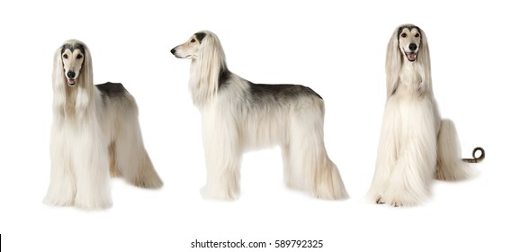 Photo collage of white Afghan hound dog, studio shot on white background