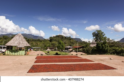 A photo of collecting and drying cocoa beans  in Huayhuantillo village near Tingo Maria in Peru, 2011