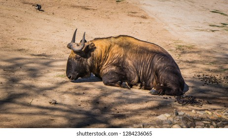 A photo of a common wildebeest, also known as blue wildebeest, Connochaetes taurinus, white-bearded wildebeest, or brindled gnu, with beautiful a brown fur having a sunbath and resting on the ground.