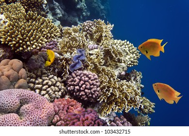 Photo of a coral colony, Red Sea, Egypt.