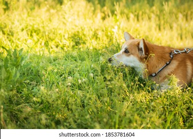Photo of a corgi dog in grass on a sunny nature outdoor background.