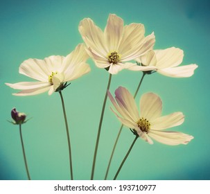 a photo of cosmos flower on blue background
