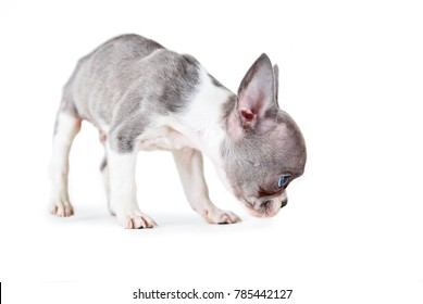 photo of a cute french bulldog puppy studio shot on an isolated white background