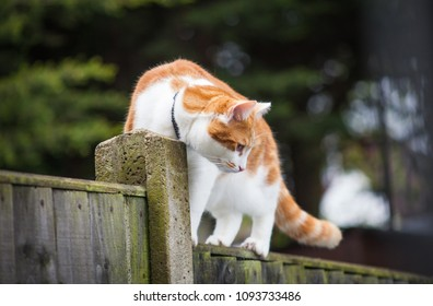 photo of a cute ginger tabby walking cautiously on the fence