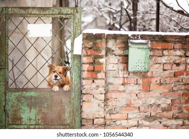 Photo of a cute red dog head miss his owner, protruding from the old cage door.