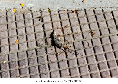 Photo of a dead mouse on a gray ground. Dead rat (Mouse),Sluggish and dead rats pierced with ants eat on the road (Food chain). Dead rat on the asphalt in the neighborhood of people's housing .