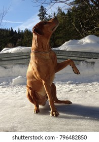 In the photo is a dog Rhodesian ridgeback on the plowed road near the town Fall
