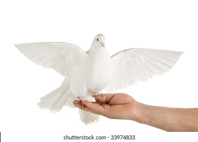 Photo of a dove on a hand, isolated on white