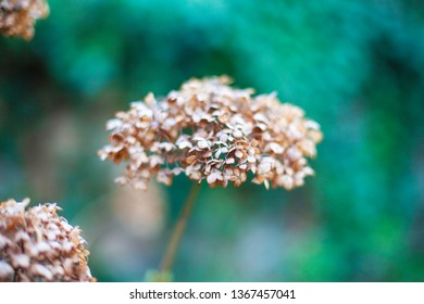 Photo dried flower. Close-up with blurred background.