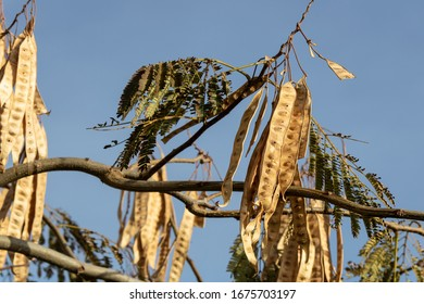 Photo of dried leaves of the Robinia pseudoacacia tree. Blue sky in the background.