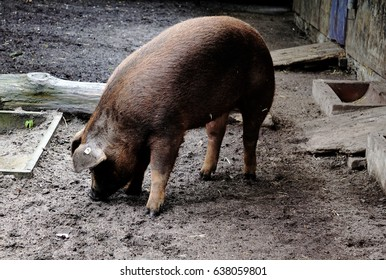 Photo of a Duroc pig digging in the sand