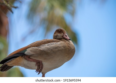 photo of an Egyptian geese standing on one foot