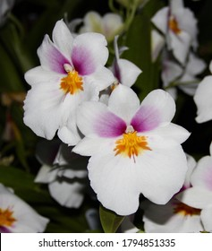 A photo of an elegant white MIltonia orchid in bloom.