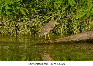 Photo of Eurasian Bittern Great bittern wild bird